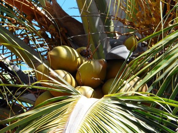 coconuts-267093_1920