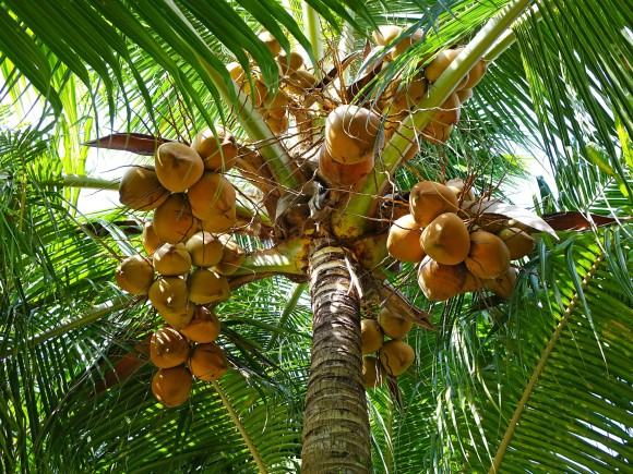 coconuts-892580_1920